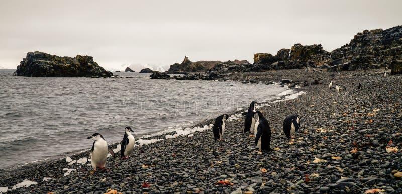 Пингвины Chinstrap и Gentoo приходя из океана на острове обмана в Антарктике стоковые фото