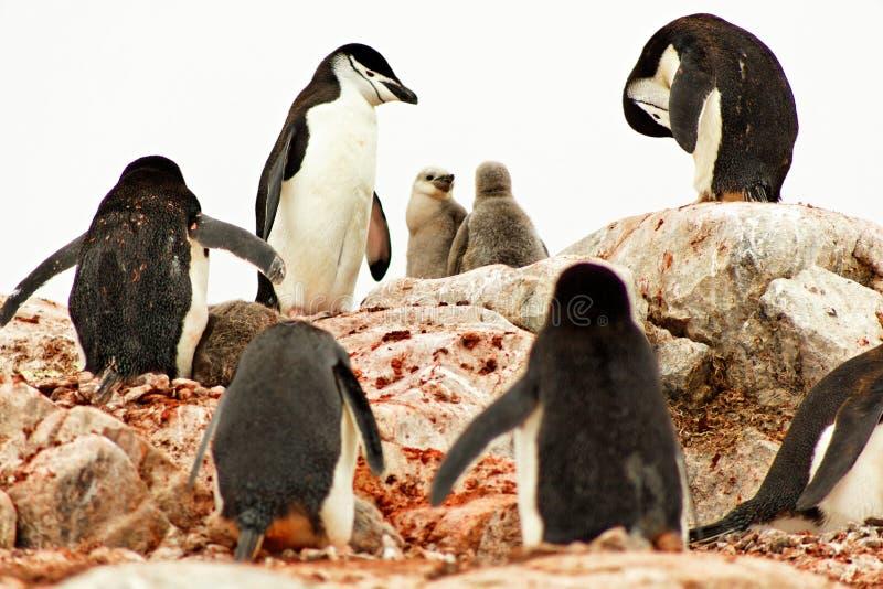 Пингвины Chinstrap с цыпленоками, Антарктидой стоковые изображения