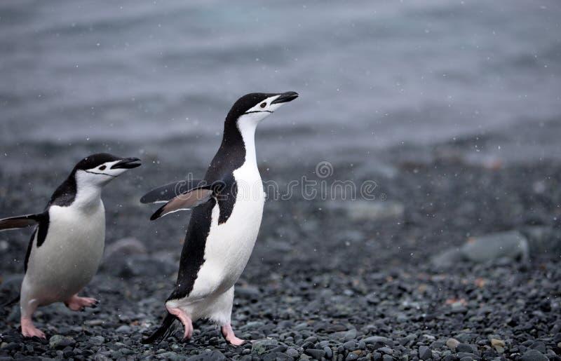 Пингвины Chinstrap стоковые изображения