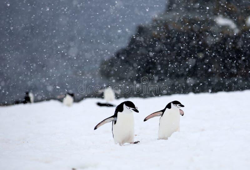 Пингвины Chinstrap стоковые изображения rf