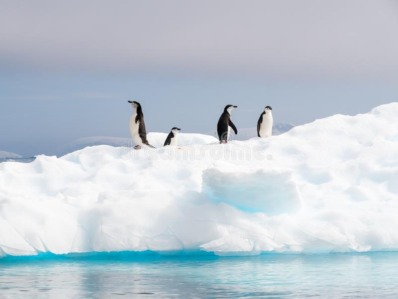 Пингвины Chinstrap, antarcticus Pygoscelis, стоя на ледяном поле стоковые фото