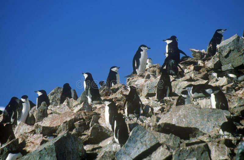 Пингвины Chinstrap (Pygoscelis Антарктика) на острове полумесяца, проливе Bransfield, Антарктике стоковые изображения