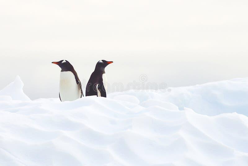 Пингвины Gentoo стоковые изображения