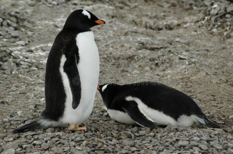 пингвины gentoo стоковые изображения rf