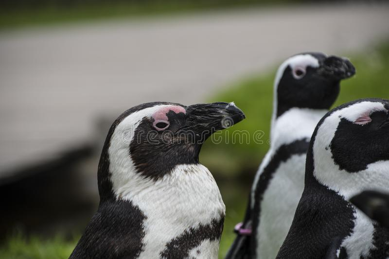 Пингвины Magellan группа в составе акватические, бескрылые птицы живя почти исключительно стоковые фотографии rf