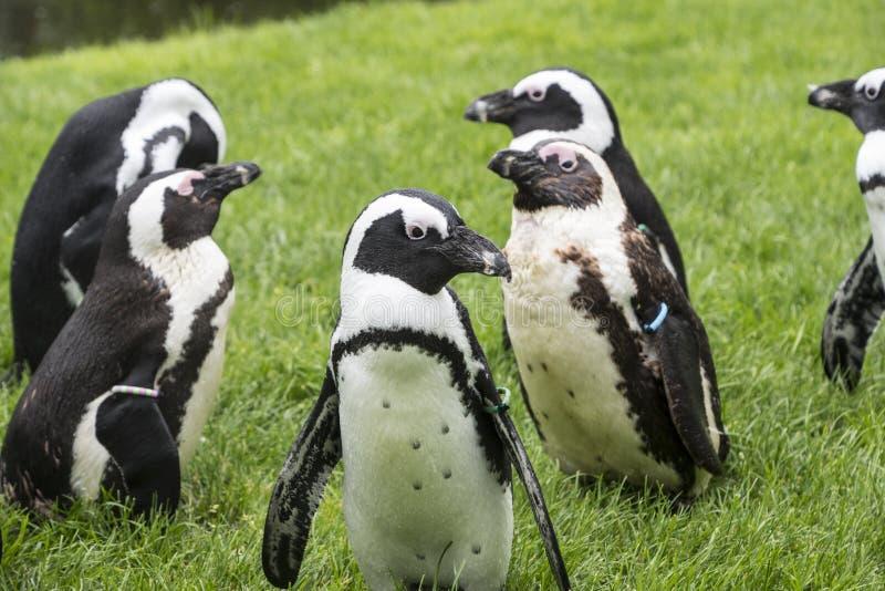 Пингвины Magellan группа в составе акватические, бескрылые птицы живя почти исключительно стоковое изображение rf