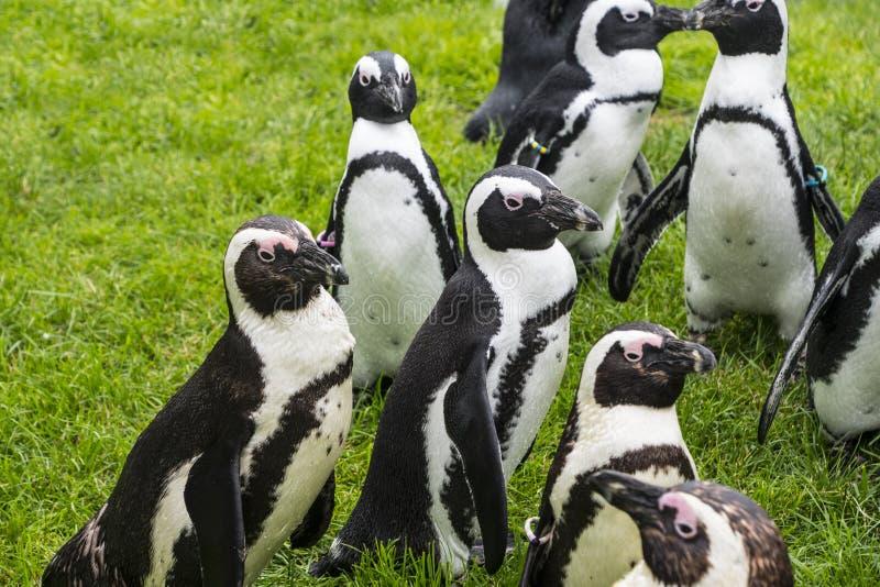 Пингвины Magellan группа в составе акватические, бескрылые птицы живя почти исключительно стоковое изображение