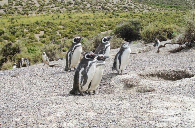 Пингвины Magellan около гнезда стоковое изображение rf