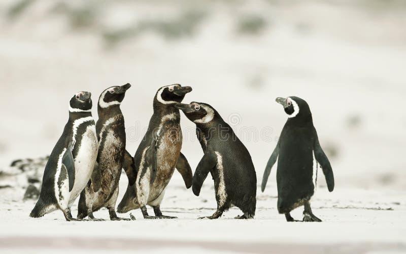Пингвины Magellanic возглавляя вне к морю для удить стоковая фотография rf