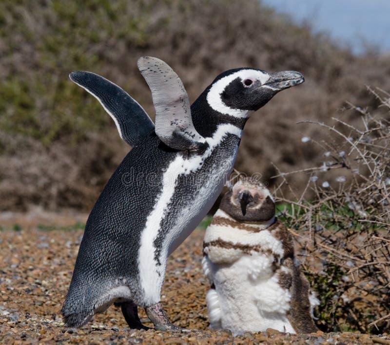 Пингвины Magellanic в колонии Конец-вверх ареальных Полуостров Valdes стоковое изображение rf