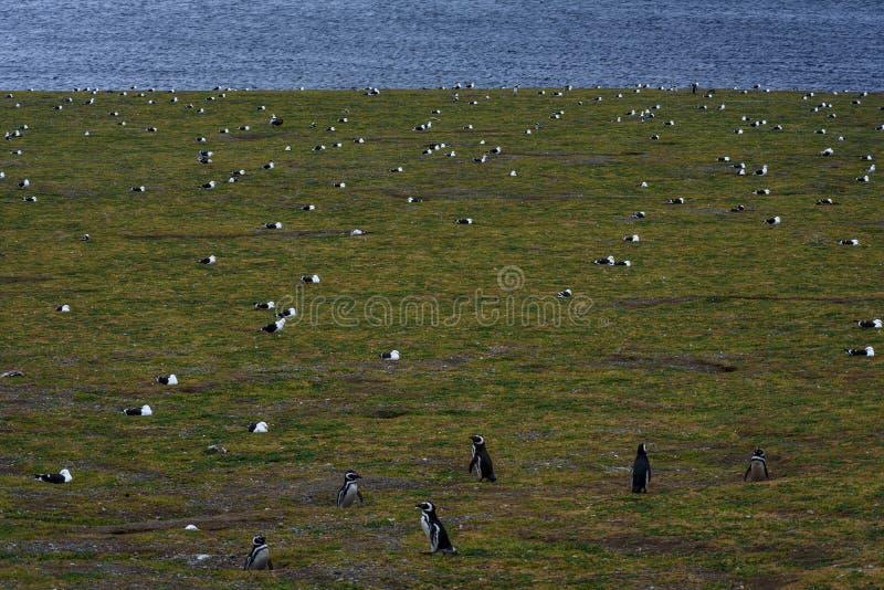 Пингвины Magellanic, остров Магдалены, Чили стоковое фото