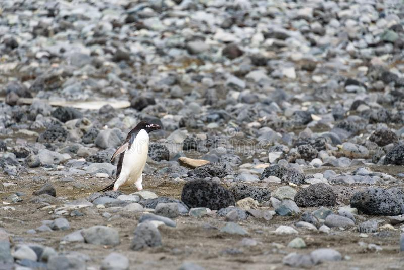 Пингвин Адели идя вниз со скалистого пляжа самостоятельно, южные острова Shetland, Антарктика стоковое фото rf