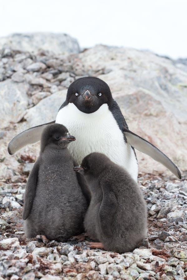 Пингвин Адели женщины и 2 цыпленоков сидя в гнезде на summ стоковое изображение rf