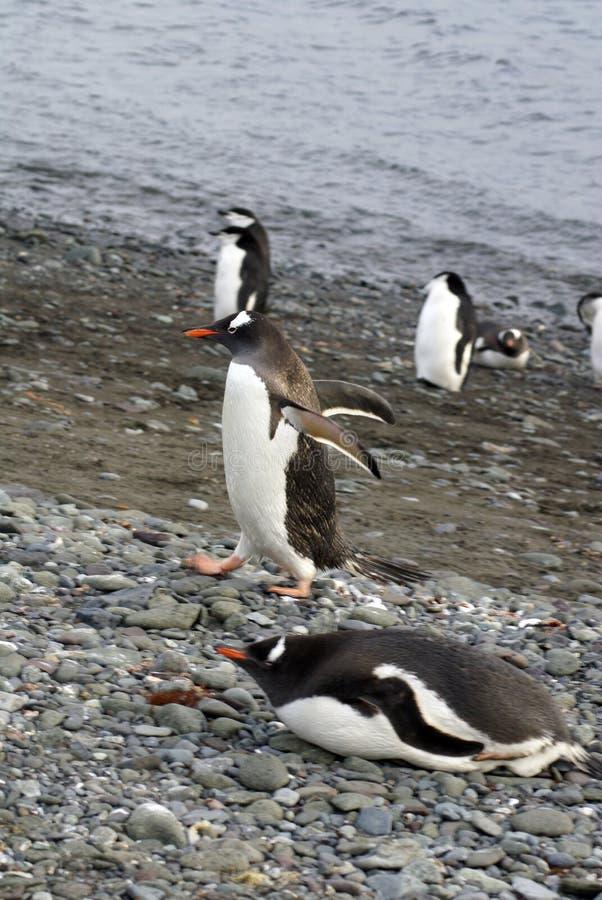 Пингвин в Антарктике стоковое изображение rf