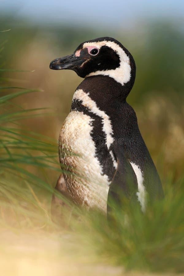 Пингвин в зеленой траве вечера, пингвин Magellanic, magellanicus spheniscus, черно-белая птица воды в среду обитания природы, стоковое изображение rf