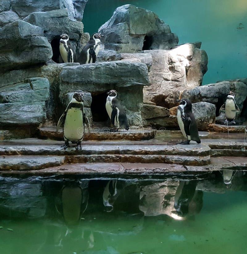 Пингвин в зоопарке, чехии стоковая фотография rf