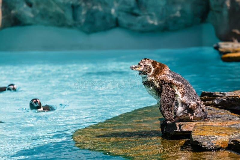 Пингвин в зоопарке стоковая фотография rf