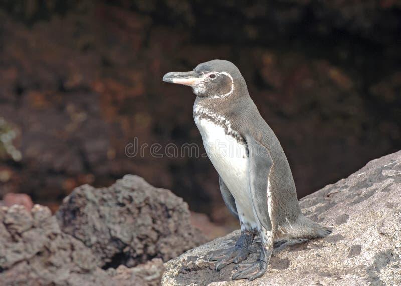 Пингвин Галапагос, острова Галапагос стоковые фото