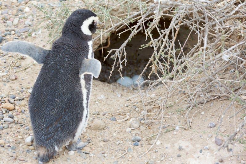 пингвин гнездя стоковые изображения