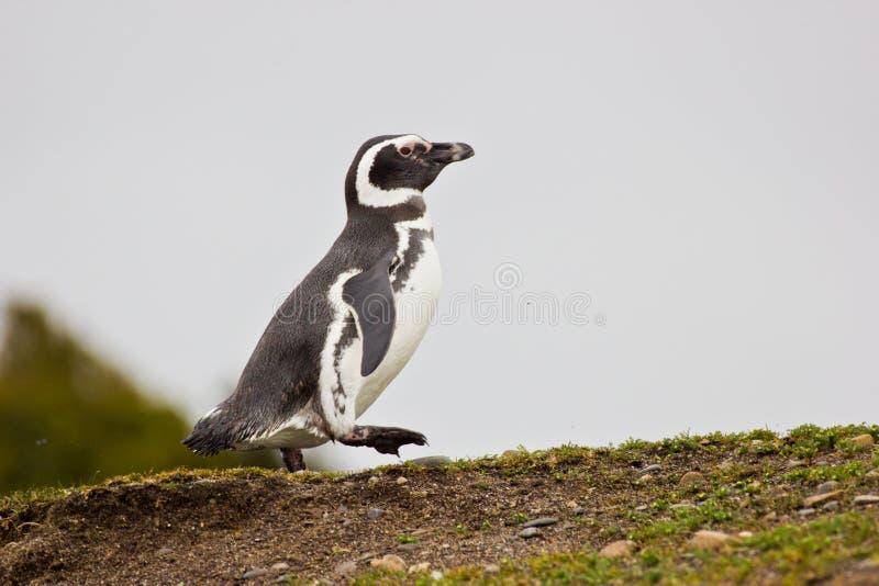 Пингвин Гумбольдта идя на холм стоковое изображение