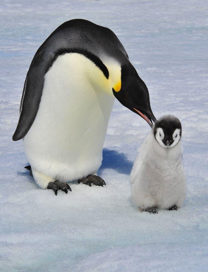 Пингвин императора с цыпленоком стоковые фото