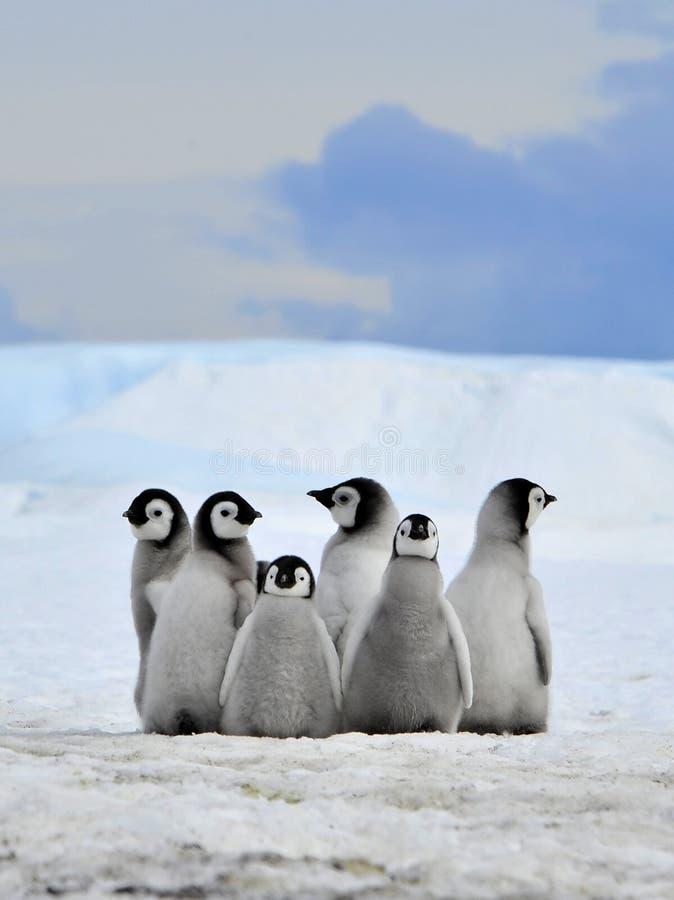 пингвин императора стоковая фотография rf