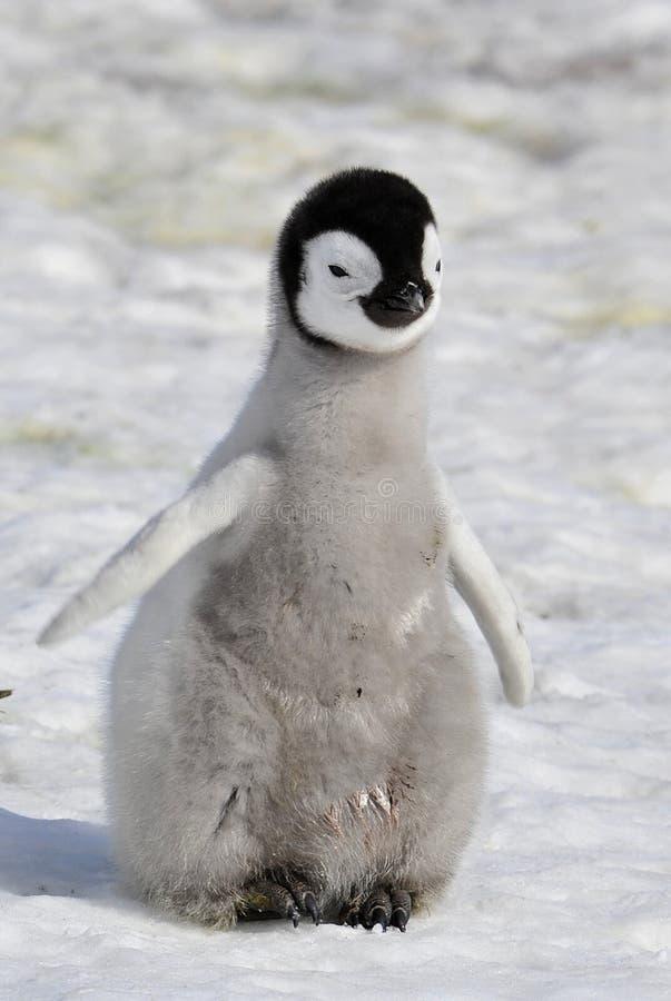 пингвин императора стоковое изображение