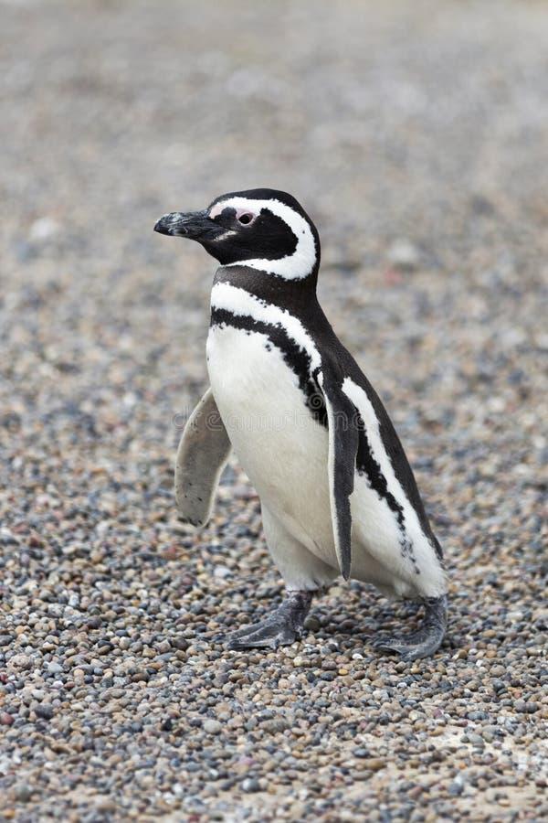 Пингвин идя самостоятельно стоковые фото