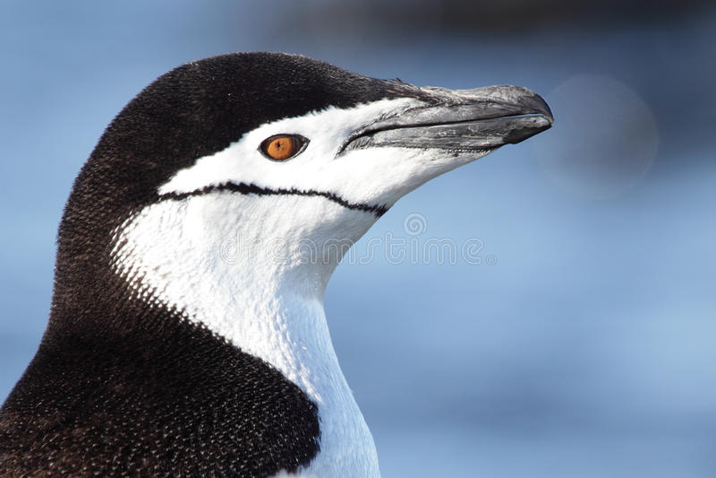 пингвин конца chinstrap Антарктики вверх стоковое фото