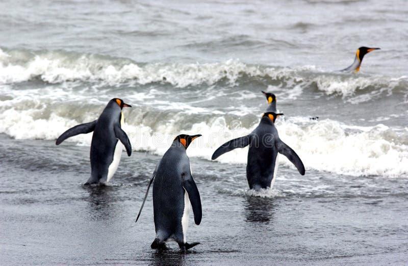пингвин короля стоковая фотография
