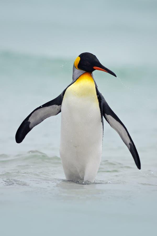 Пингвин короля идя от открытого моря, Атлантического океана в птица острове Falkland, море в среду обитания природы Пингвин в вод стоковые фотографии rf