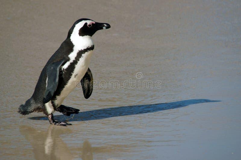 Пингвин на пляже стоковые изображения rf
