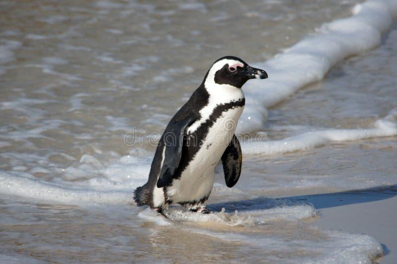 Пингвин на пляже стоковые фотографии rf