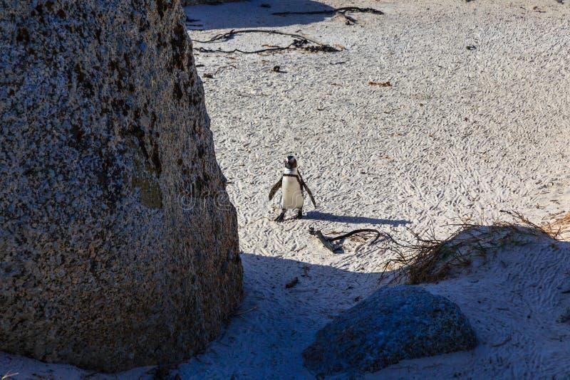 Пингвин на пляже Больдэра, городке Simons стоковые изображения