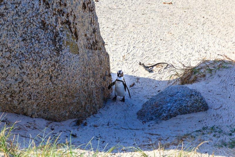 Пингвин на пляже Больдэра, городке Simons стоковая фотография rf