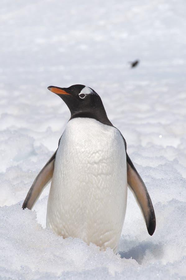 Пингвин на снежке стоковая фотография