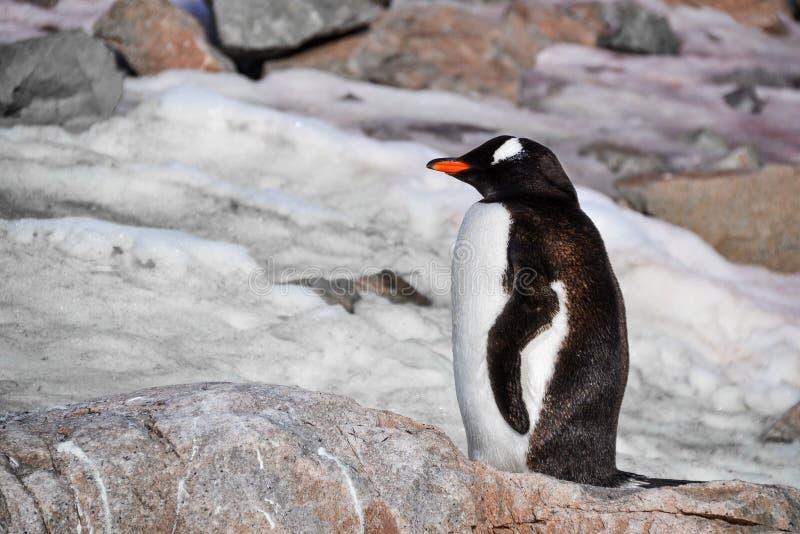 Пингвин сидя на утесе стоковая фотография