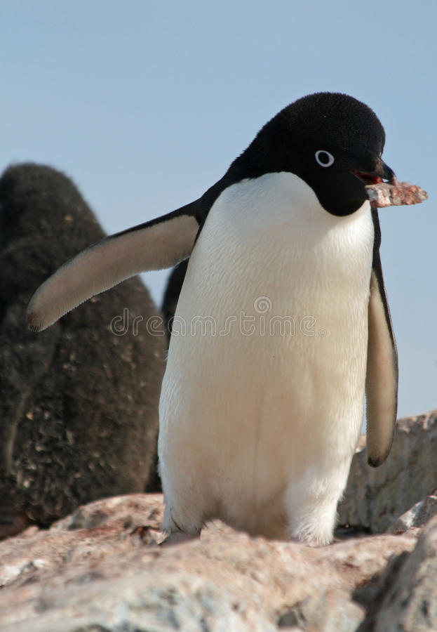 пингвин 8 adelie стоковая фотография