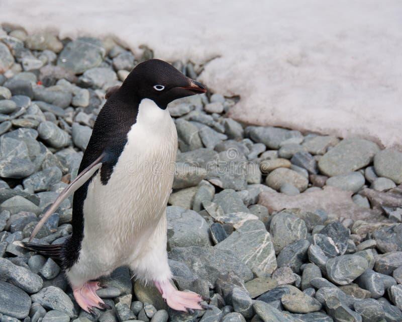 пингвин adele стоковое фото
