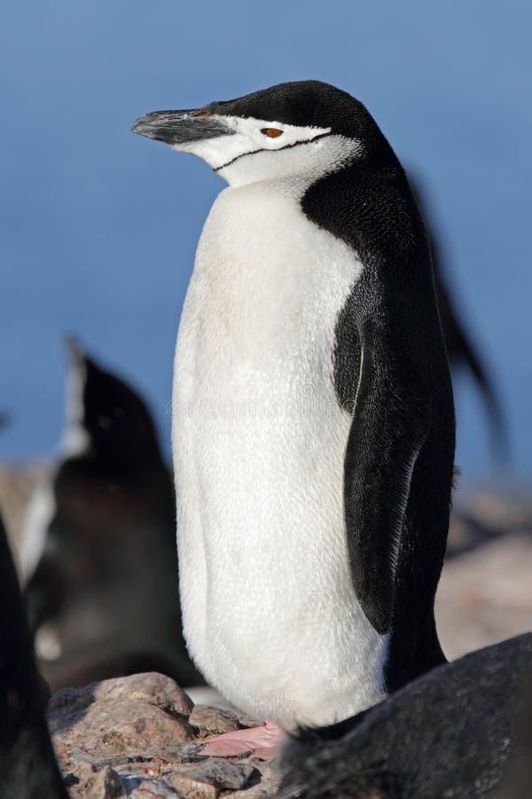 пингвин chinstrap Антарктики стоковые изображения