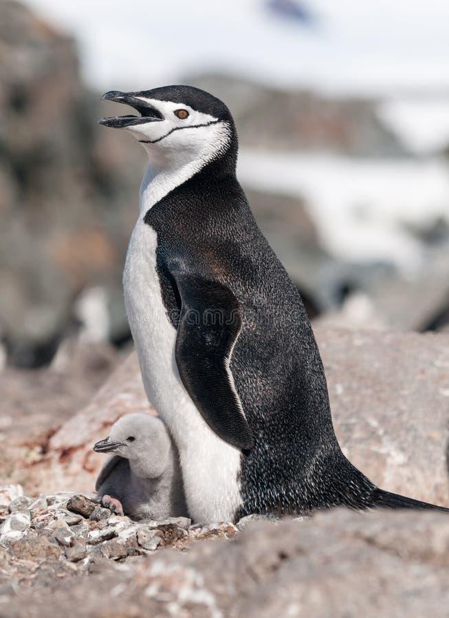 Пингвин Chinstrap вложенности с цыпленоком, антартическим полуостровом стоковое изображение