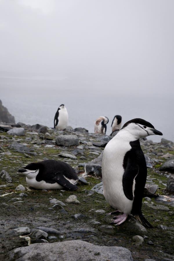 Пингвин Chinstrap в Антарктике стоковые изображения