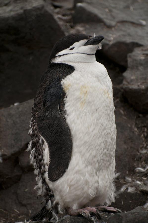 Пингвин Chinstrap в Антарктике стоковое изображение