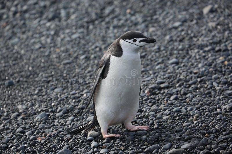 Пингвин Chinstrap в Антарктике стоковые фотографии rf