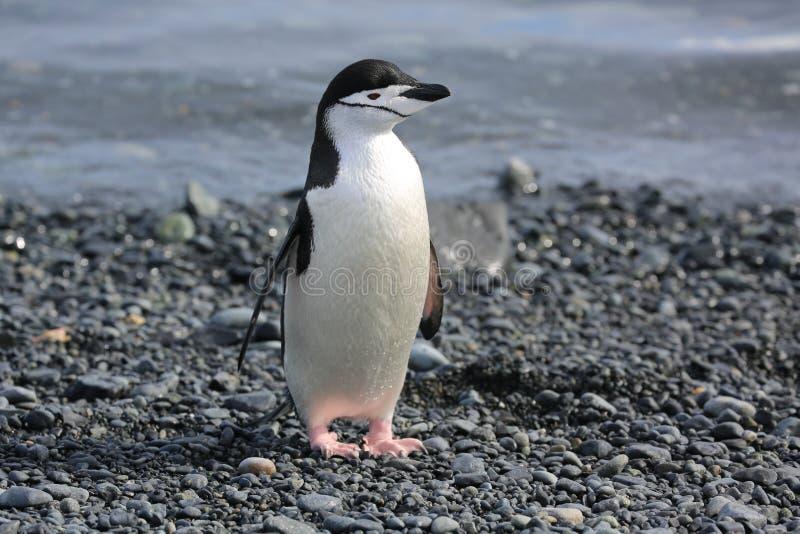Пингвин Chinstrap в Антарктике стоковое фото rf