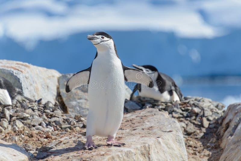 Пингвин Chinstrap на пляже в Антарктике стоковое изображение