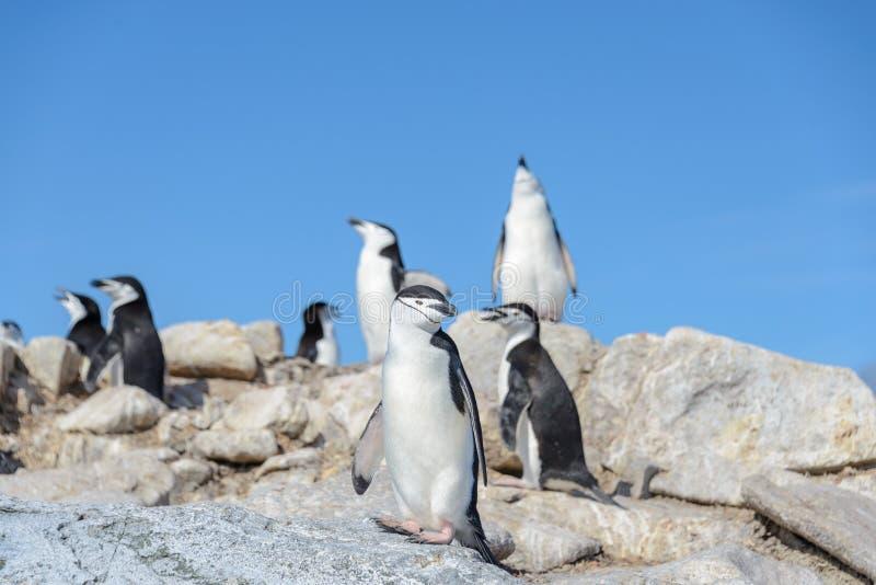 Пингвин Chinstrap на пляже в Антарктике стоковые изображения rf