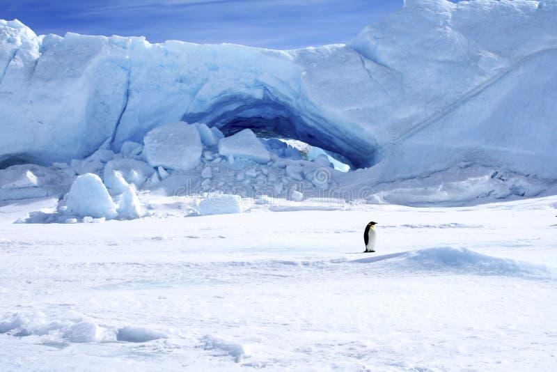 пингвин forsteri императора aptenodytes стоковое фото rf
