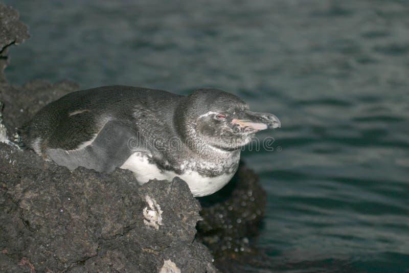 пингвин galapagos стоковое фото