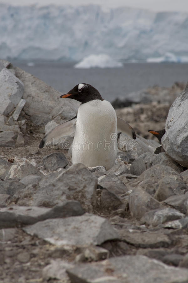 Пингвин Gentoo, Антарктика. стоковое фото
